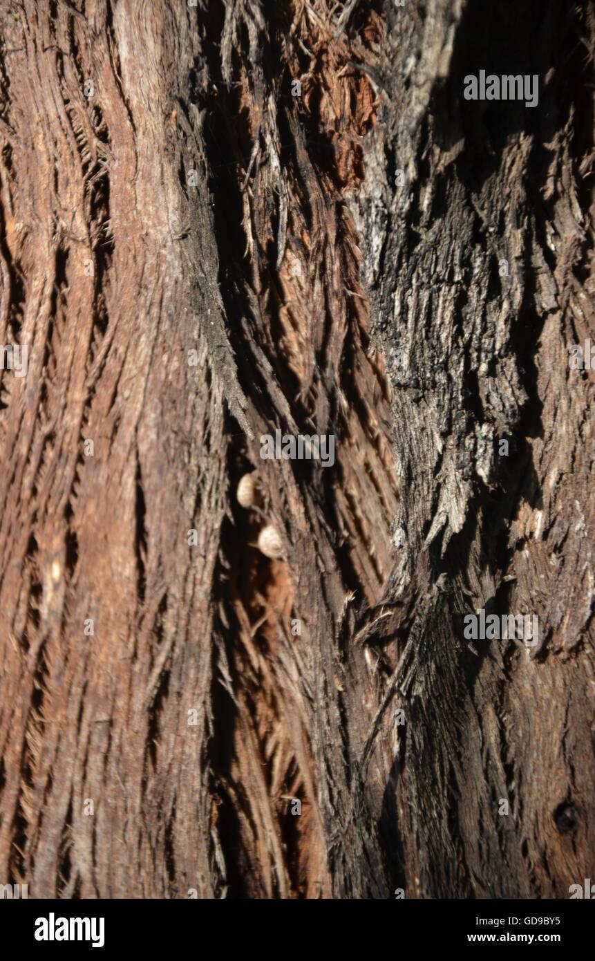 Teakbaum rinde  Baum, Rinde, Redwood, braun, Oberfläche, rau, schmutzig, Natur, Park ...