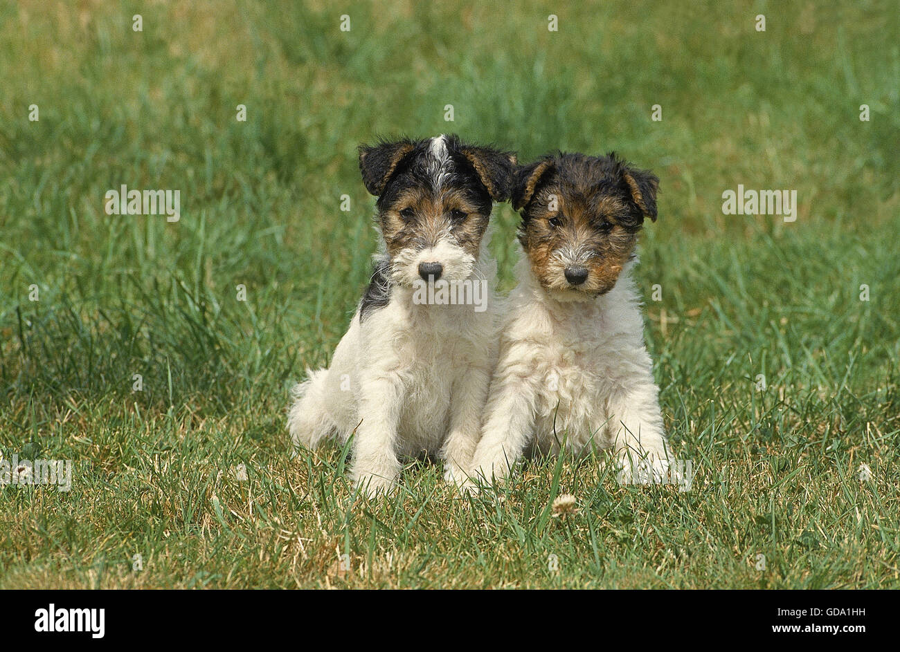 Wire Haired Fox Terrier Dog On Stockfotos & Wire Haired Fox Terrier ...