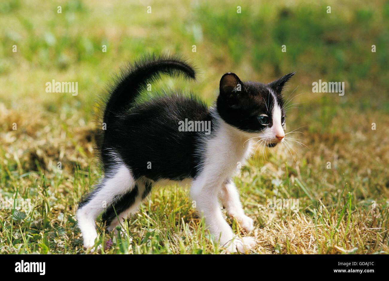 orientalische hauskatze schwarz wei kitting in abwehrhaltung stockfoto bild 111486408 alamy. Black Bedroom Furniture Sets. Home Design Ideas