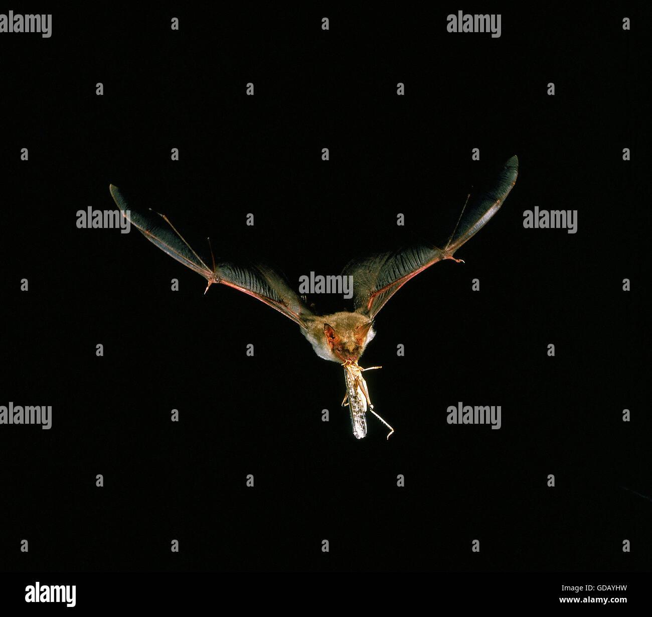 Maus-Eared Hieb, Myotis Myotis, Erwachsenen im Flug fangen Grasshopper Stockbild