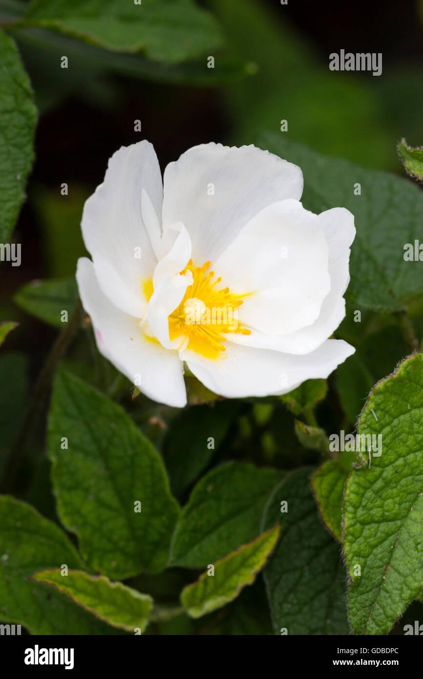 Einzelne Blume der Hybrid weißen Rock Rose, Cistus x corbariensis Stockfoto
