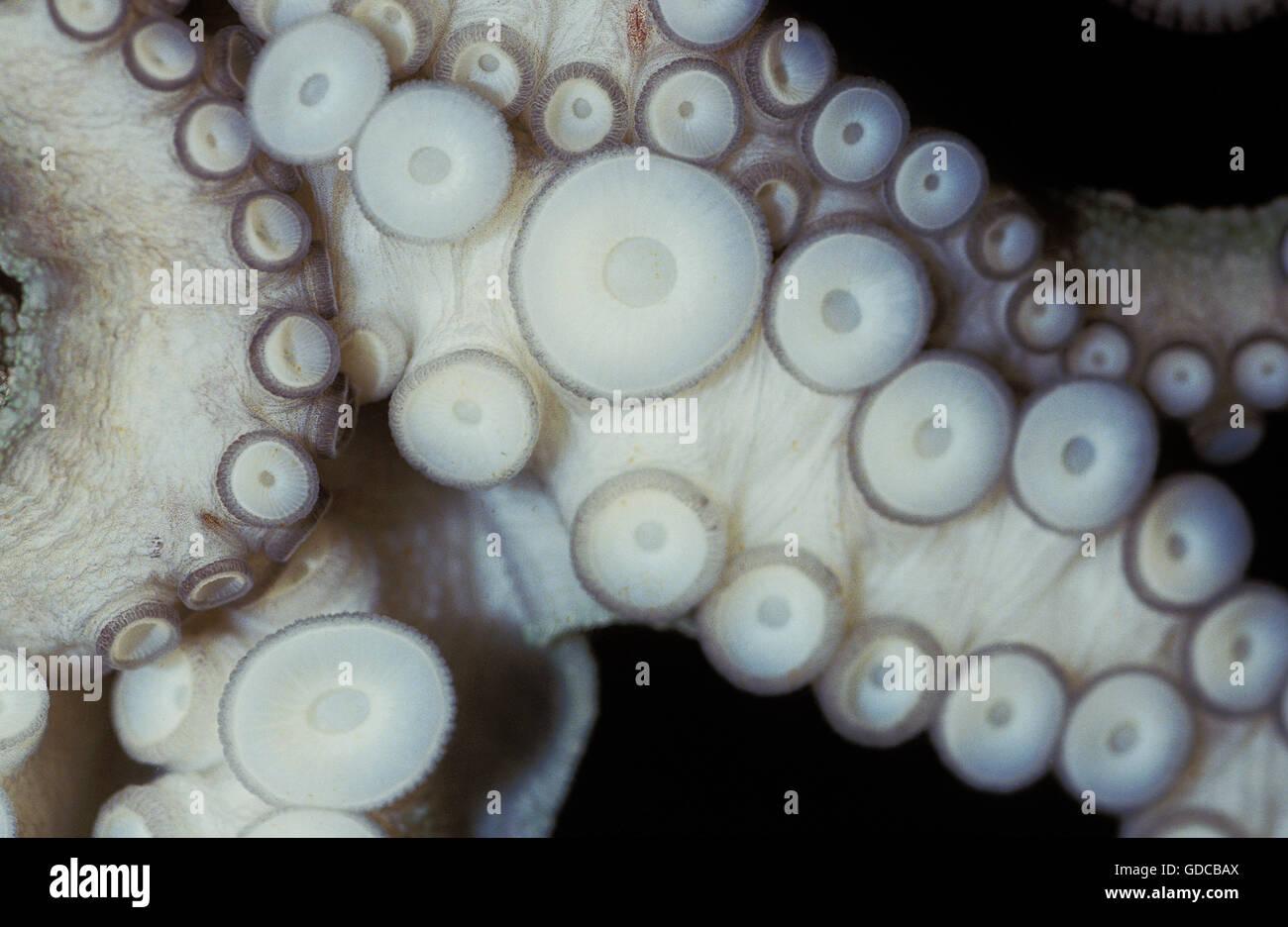 GEMEINSAMEN OCTOPUS Octopus Vulgaris, Tentakel Nahaufnahme zeigt SAUGNÄPFE Stockfoto