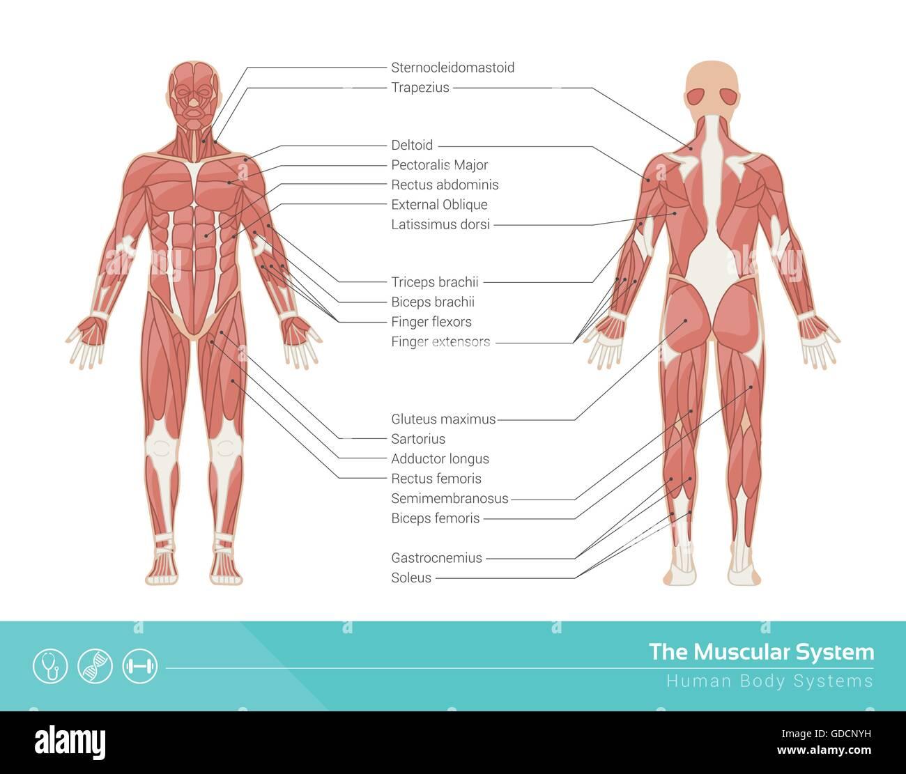 Die menschliche Muskulatur-Vektor-Illustration, Vorder- und ...