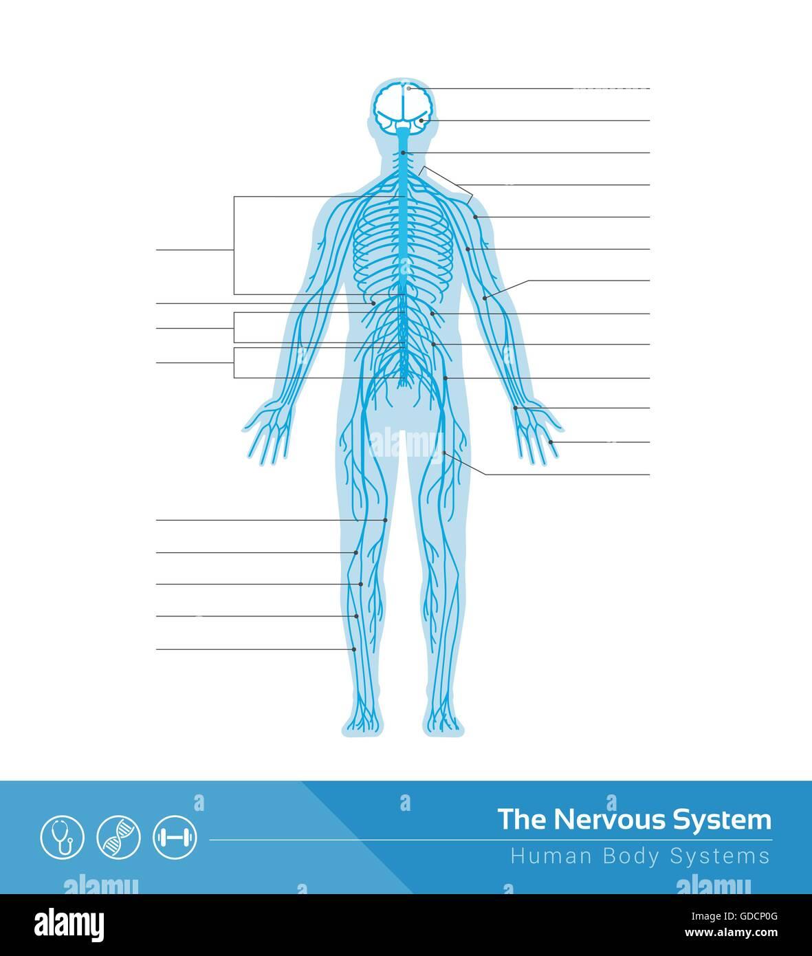 Die medizinische Vektorgrafik des menschlichen Nervensystems Vektor ...