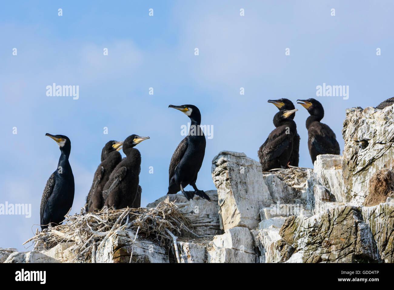 Kormoran, Phalacrocorax Carbo, mit jungen, Murray Isles Solway Firth, Schottland, Großbritannien Stockfoto