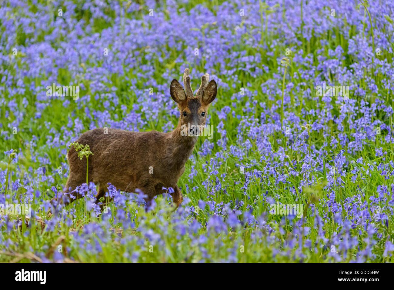 Rehe im Glockenblumen, Dumfries & Galloway, Schottland Stockfoto