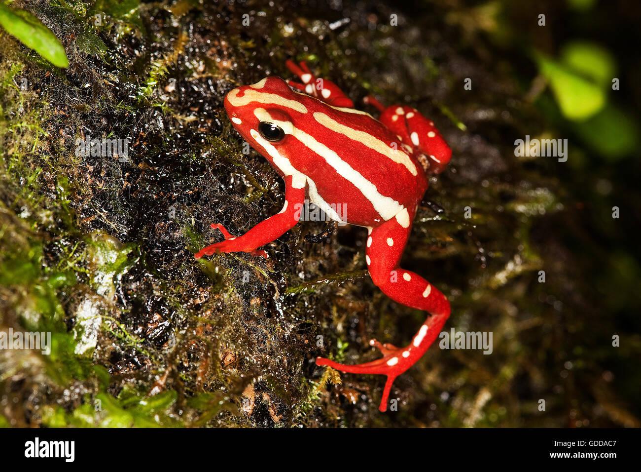Phantasmal poison frog epipedobates tricolor erwachsener giftiger frosch aus s damerika - Frosch auf englisch ...