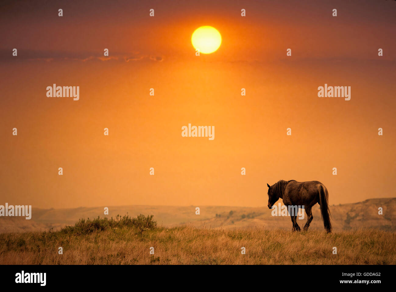 Wildpferd, Theodore-Roosevelt-Nationalpark in North Dakota Stockbild