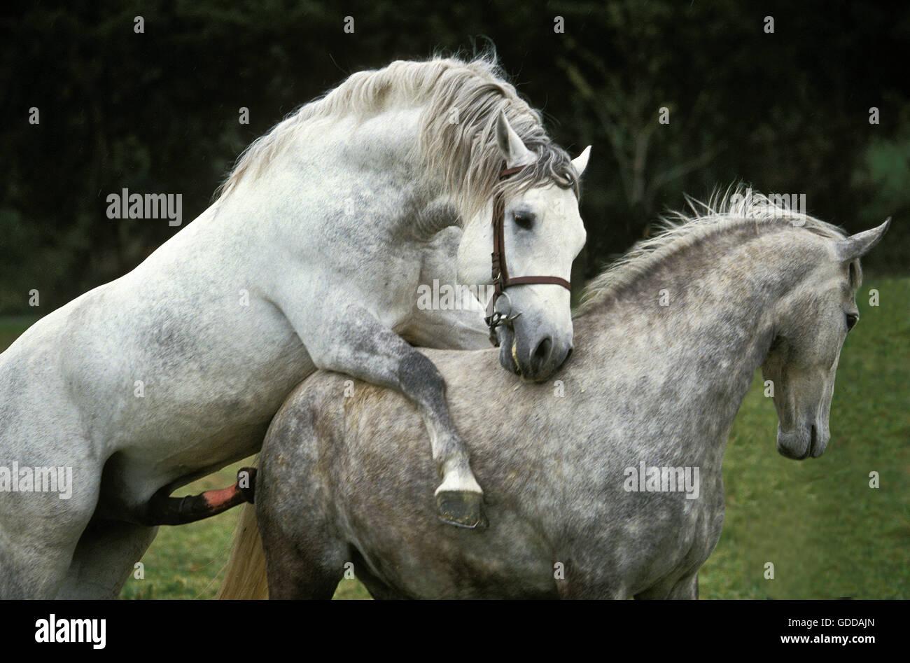 Pferdepaarung