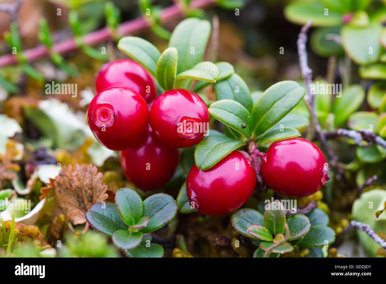 autumn berries europe colors lapland plants scandinavia. Black Bedroom Furniture Sets. Home Design Ideas