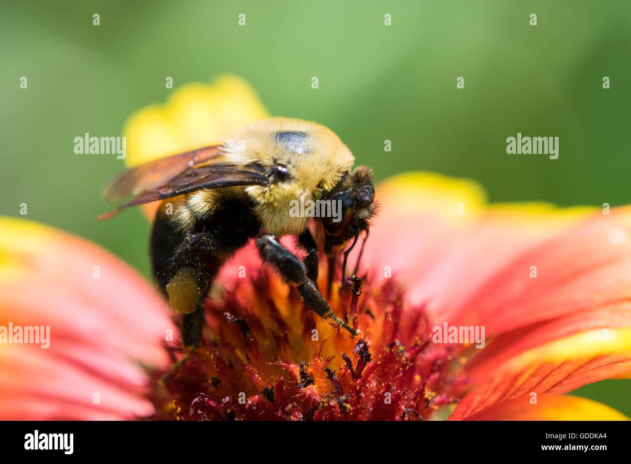 Honigbiene Bestäubung eine Blume Stockfoto