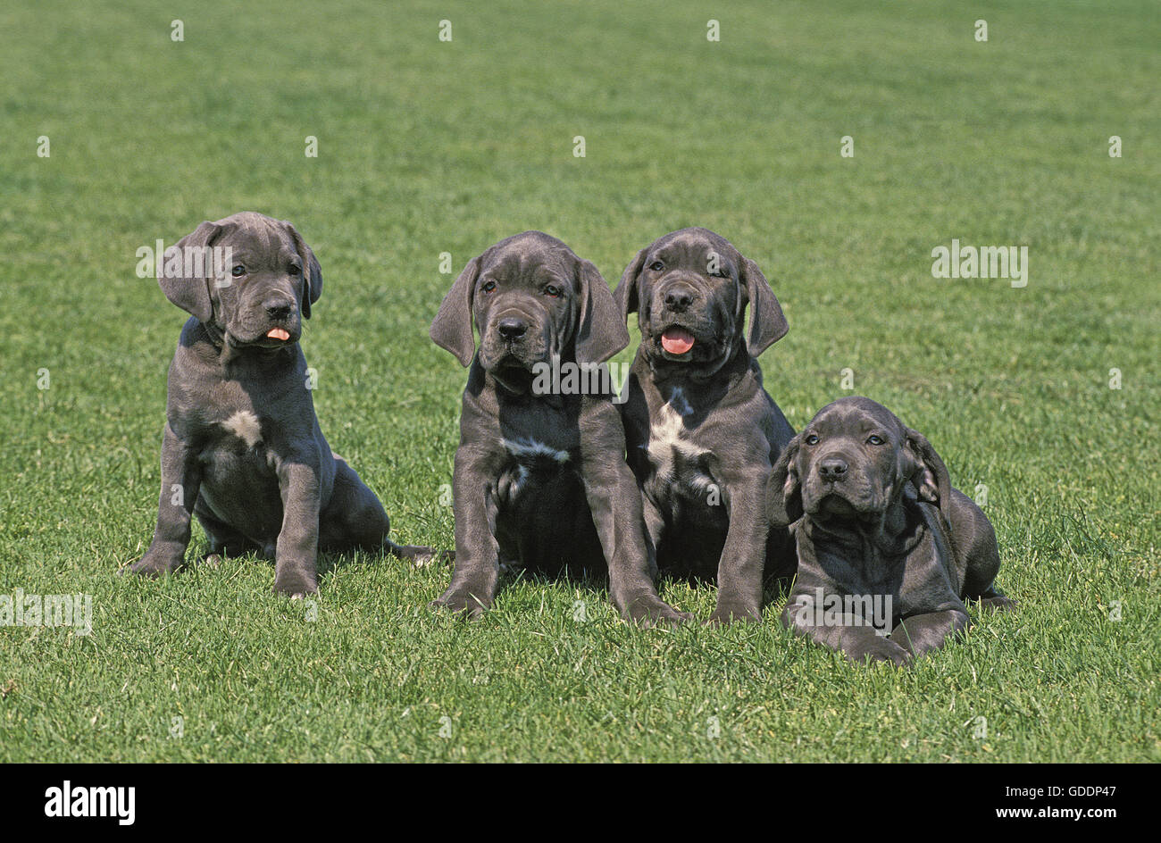 mastino napoletano hund welpe auf rasen stockfoto bild 111555479 alamy. Black Bedroom Furniture Sets. Home Design Ideas
