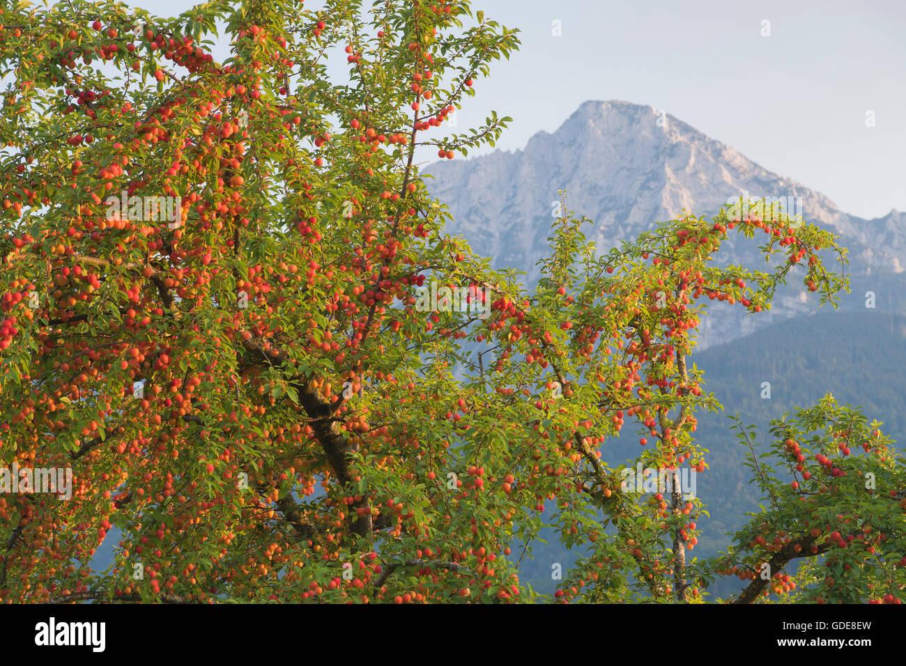 Obstbaum im Zorn mit Hochstaufen im Hintergrund Stockbild