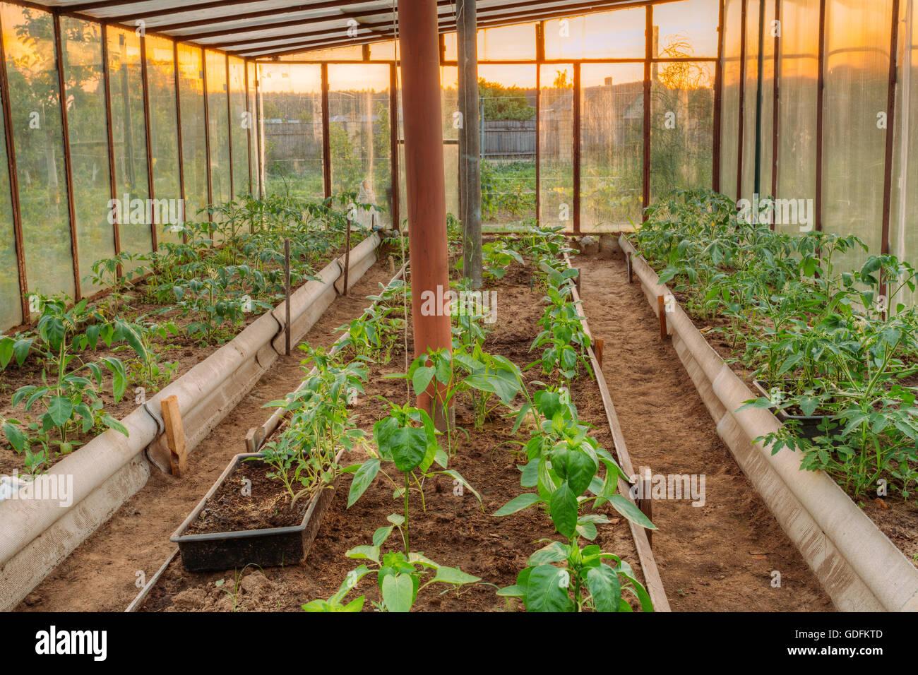 Tomaten Gemusesorten Hochbeete Im Gemusegarten Und Gewachshaus Oder