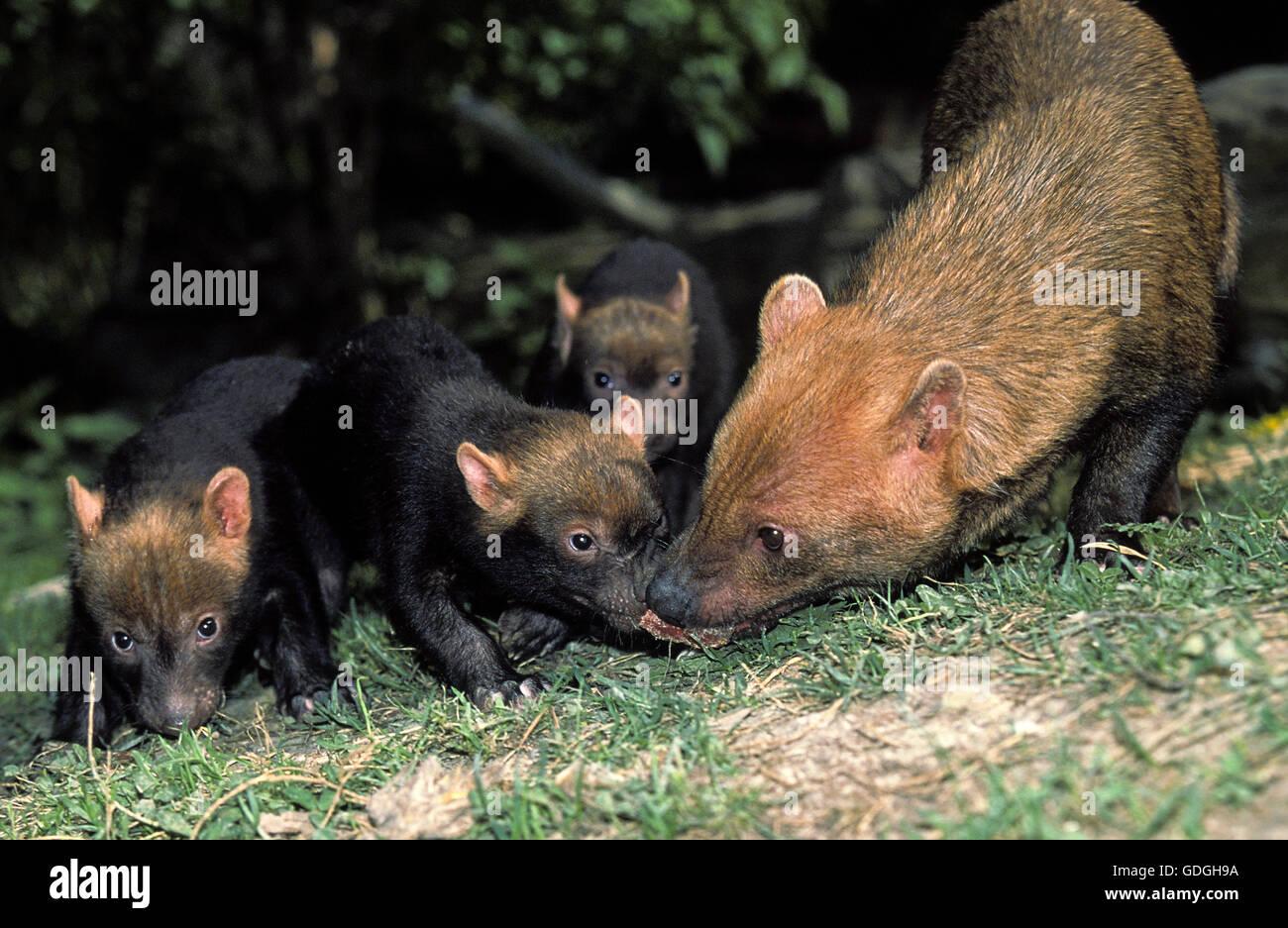 Bush Hund oder Essig Fox, Speothossogar Venaticus, Mutter mit Jungtier Stockfoto