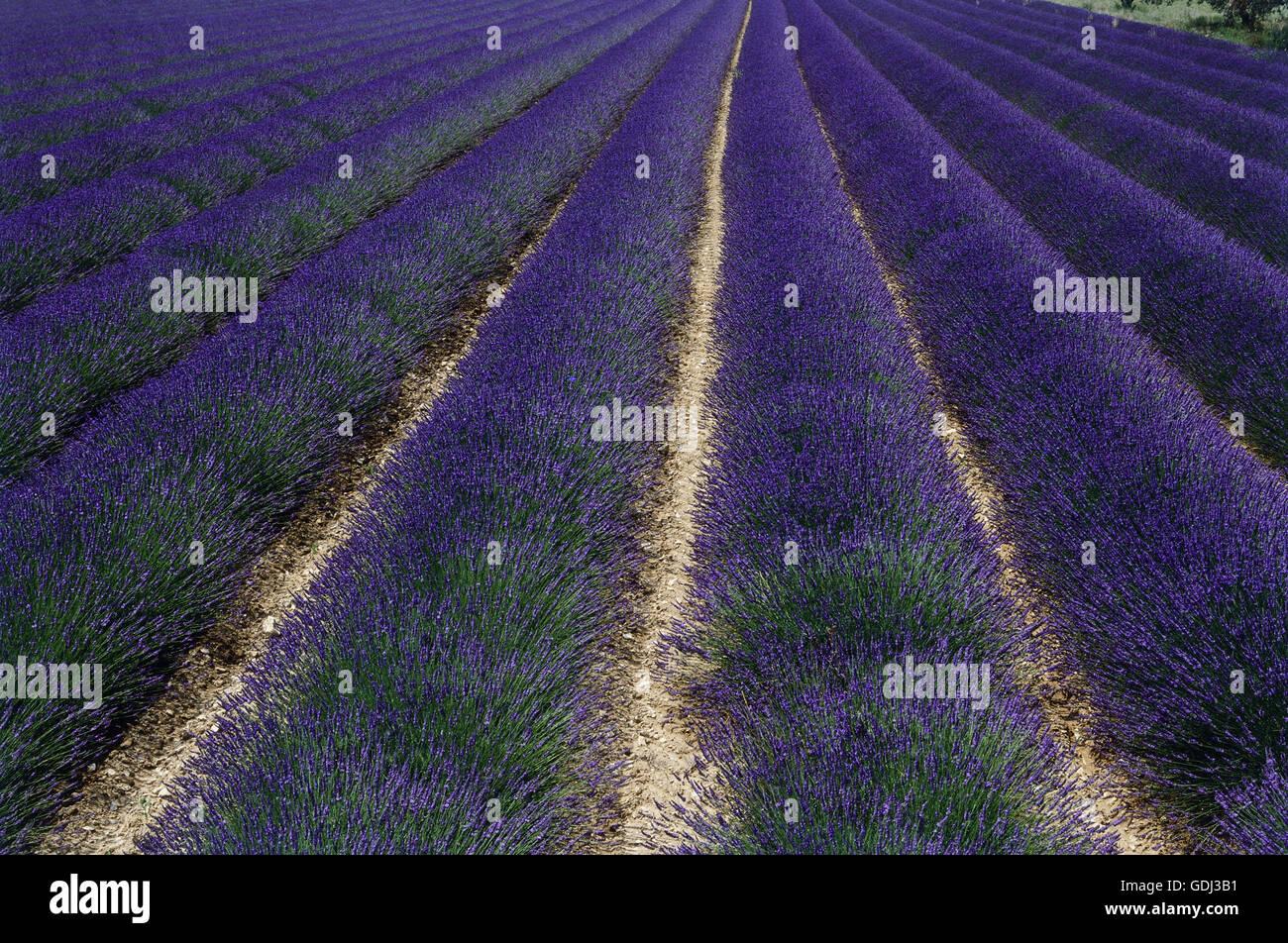 Botanik Lavendel Lavandula Angustifolia Gemeinsame Lavendel Auf Feld Gdj3b1