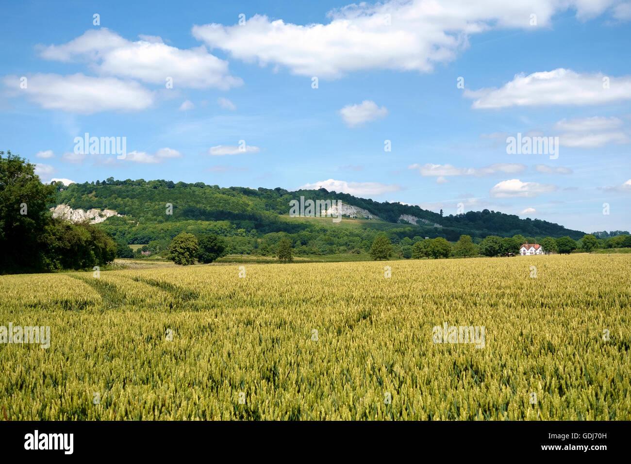Blick über eine Ernte von Weizen zwischen Betchworth und Brockham in Richtung Box Hill Steinbrüchen und Stockbild