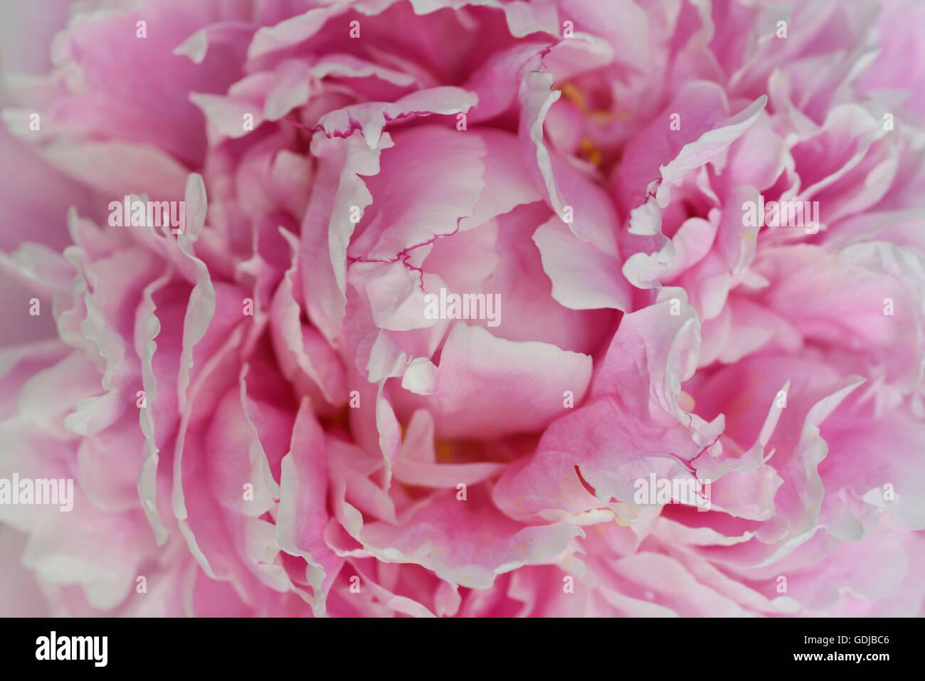 Nahaufnahme von rosa Blütenblätter eine Pfingstrose Blüte Stockbild