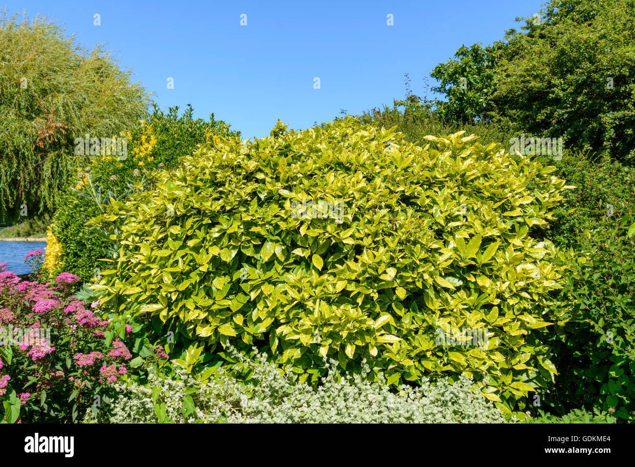 Japanische Laurel (Aucuba Japonica) Strauch wächst in einem Park im Sommer in Großbritannien. Stockbild