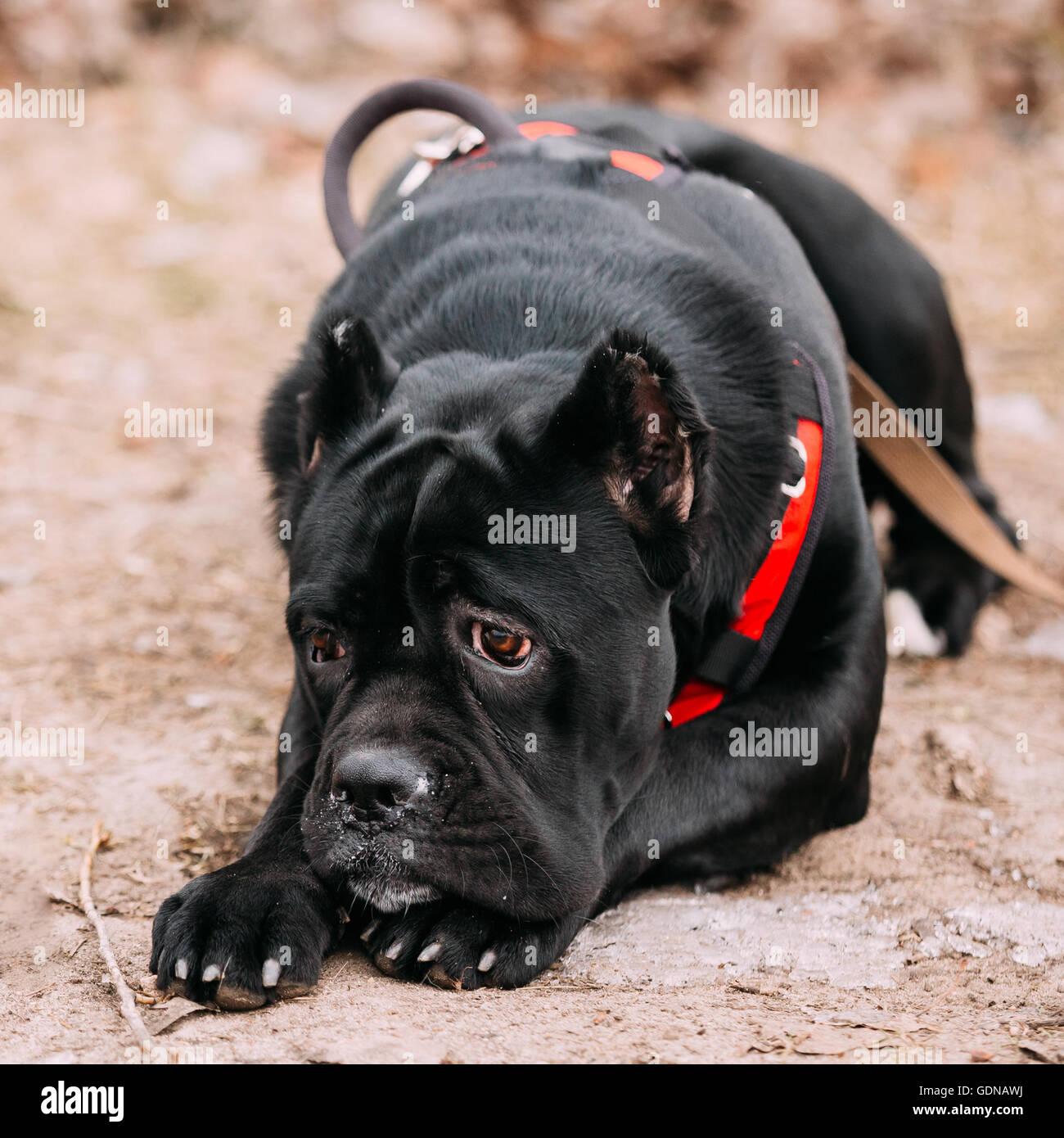 Wundervoll Schöne Hunderassen Das Beste Von Schöne Schwarze Junge Cane Corso Welpen Hund