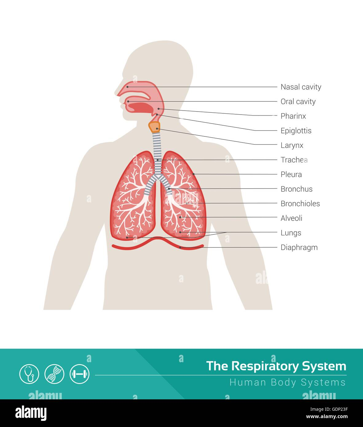 Organs Of The Respiratory System Stockfotos & Organs Of The ...