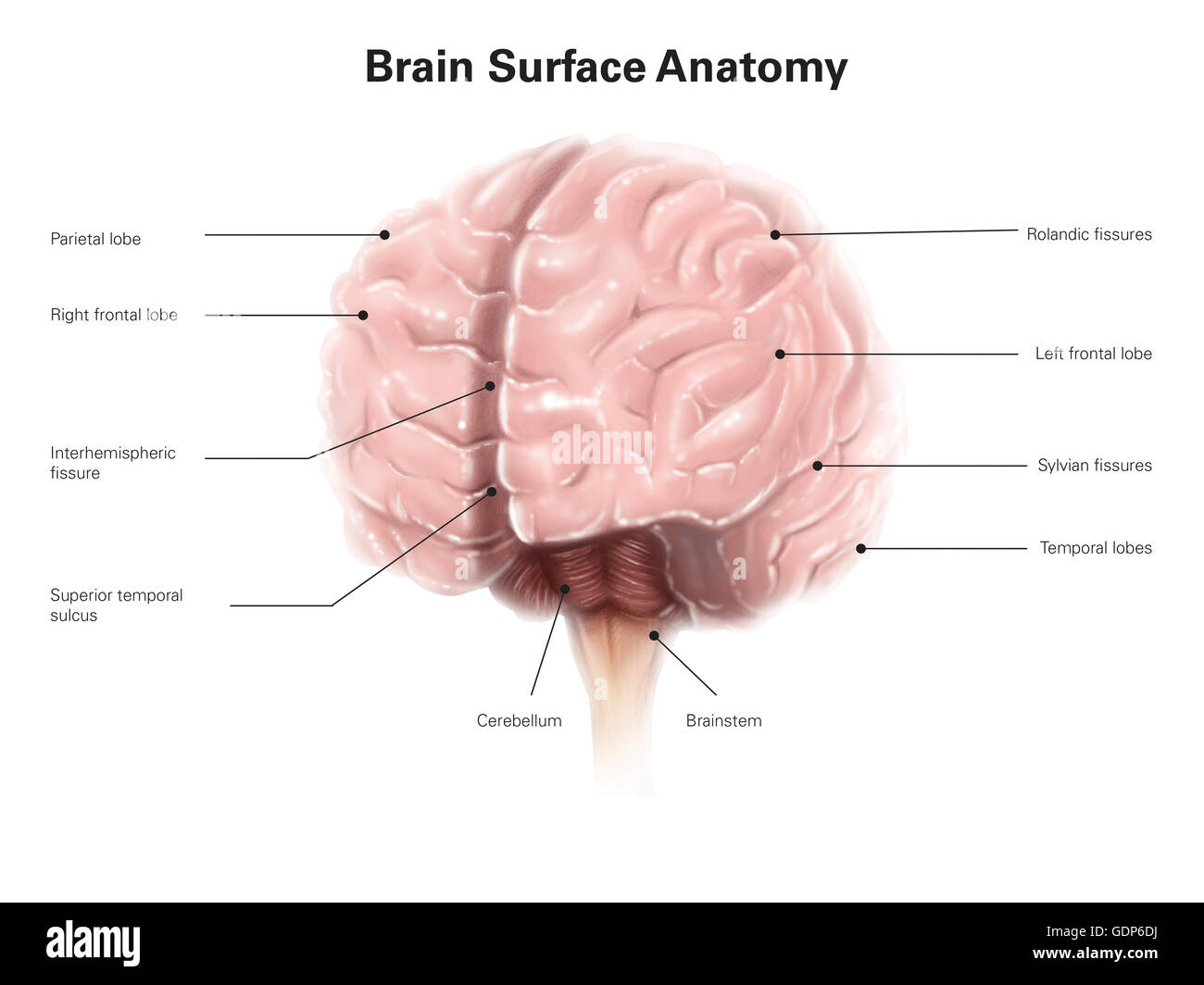 Central Sulcus Stockfotos & Central Sulcus Bilder - Alamy