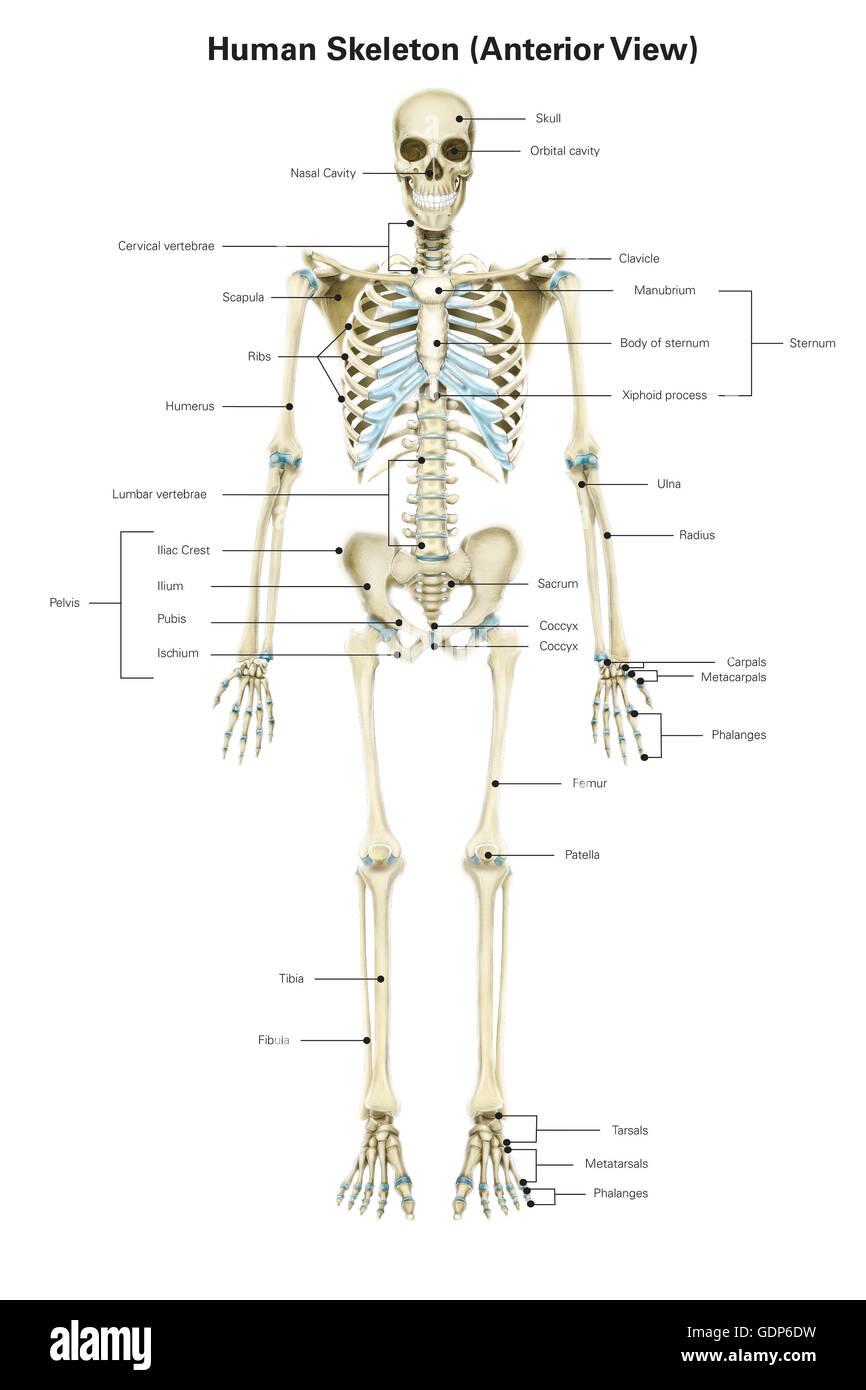Erfreut Menschliches Skelett Diagramm Ohne Etiketten Bilder ...