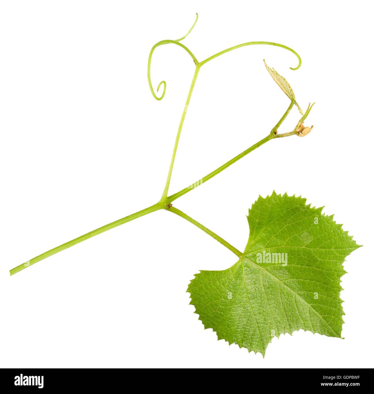 Traube Ranke mit Blättern auf dem weißen Hintergrund isoliert. Stockbild