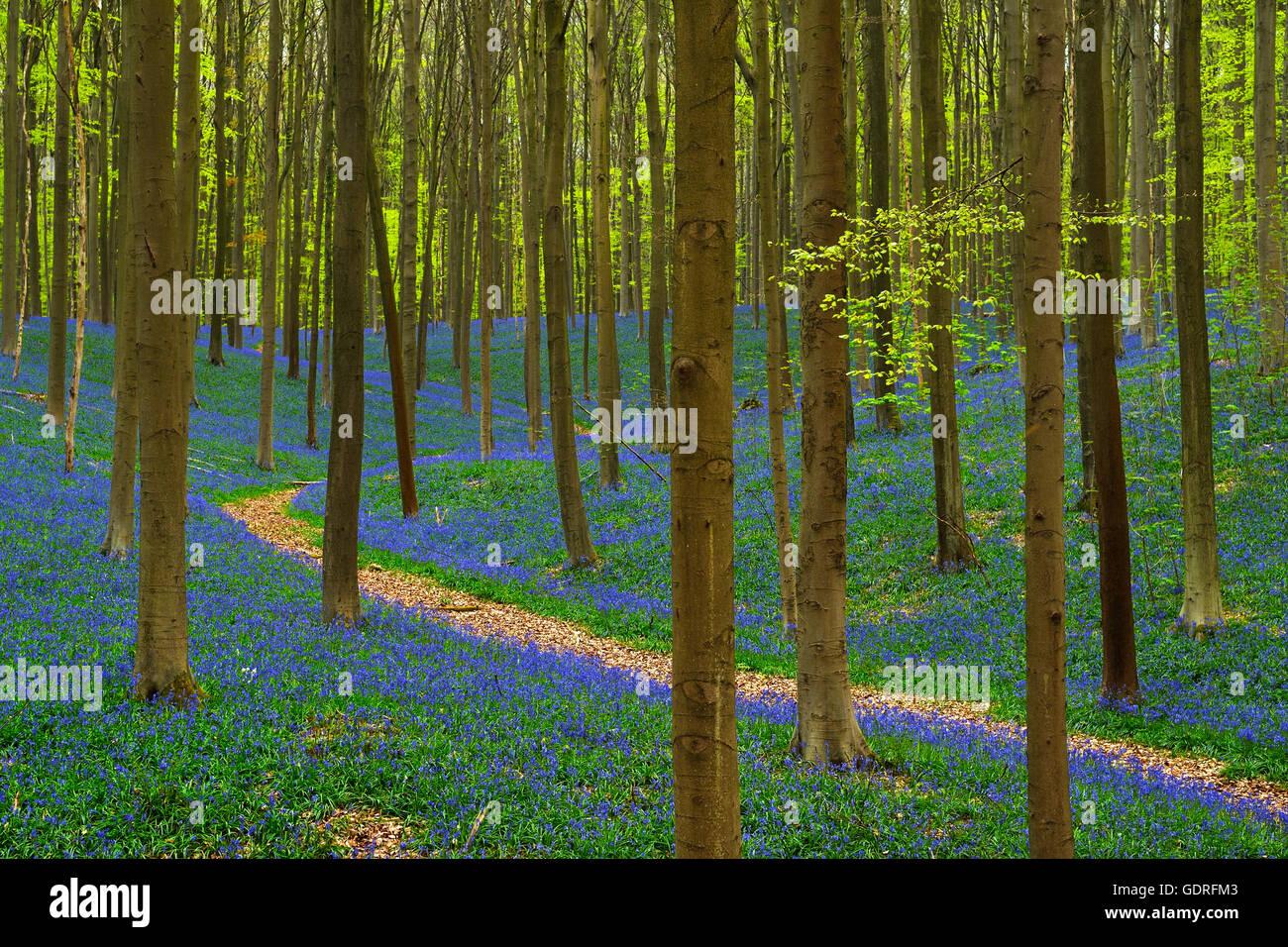 Waldweg, europäische Buche (Fagus Sylvatica), Glockenblumen (Hyacinthoides), Hallerbos, Vlaams-Brabant, Belgien Stockbild