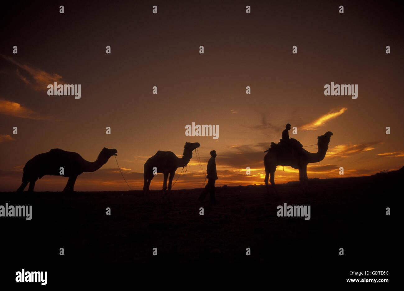 Ein Kamel in der Wüste Tar Bei Jaisalmer in der Provinz Rajasthan in West Indien in Indien Besitzer. Stockbild