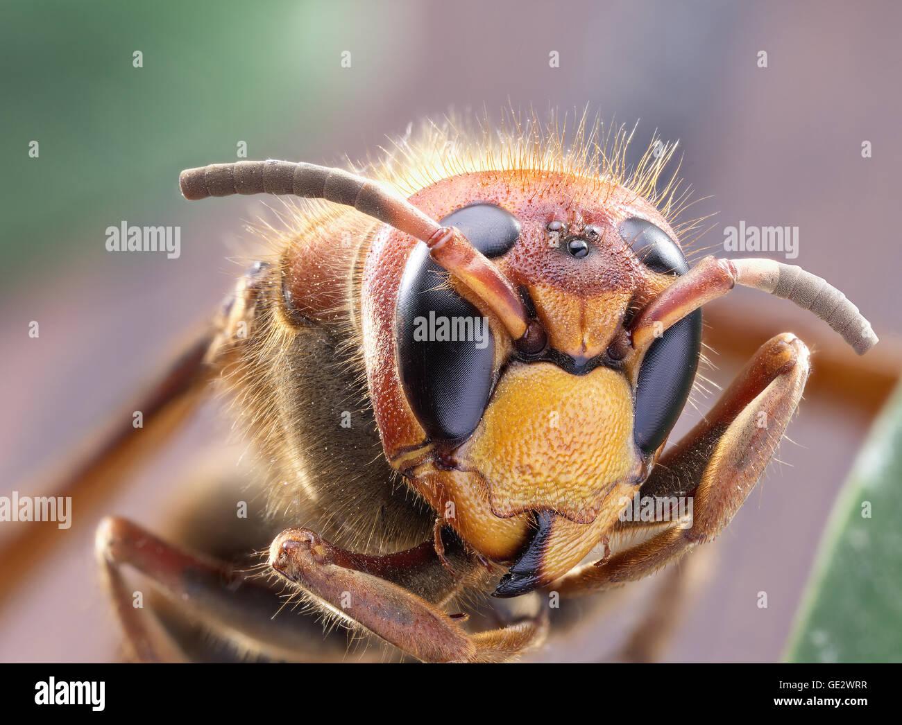 Makroaufnahme der Hornet oder gelbe Jacke. Stockbild