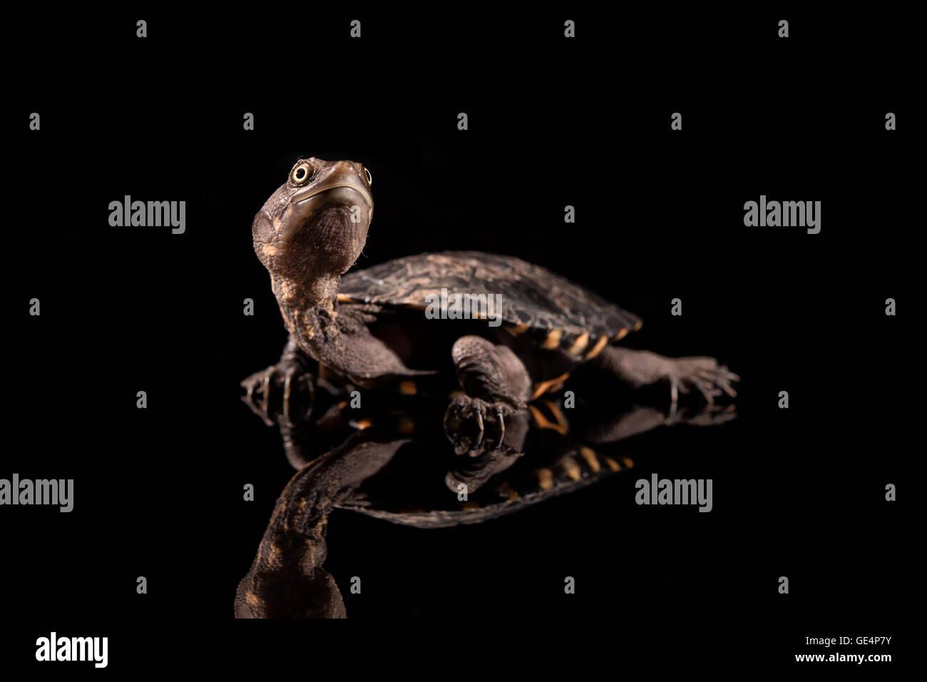 Baby Eastern Long-Necked-Schildkröte, die auf der Suche nach oben Stockbild