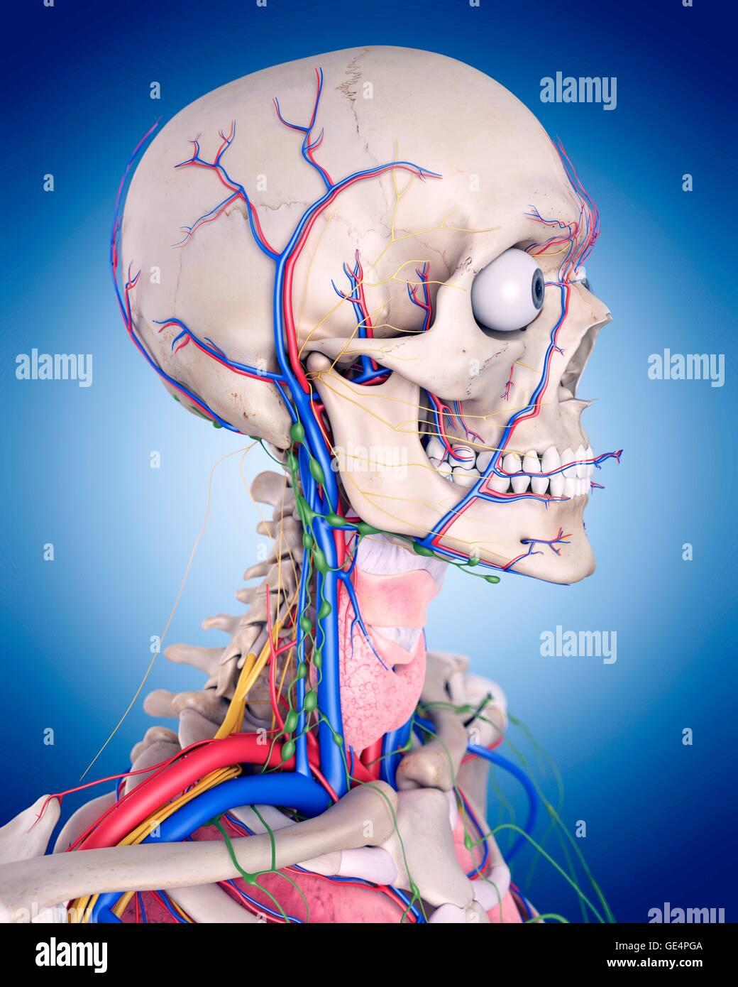 Kopf und Hals Anatomie, Abbildung Stockfoto, Bild: 111972906 - Alamy