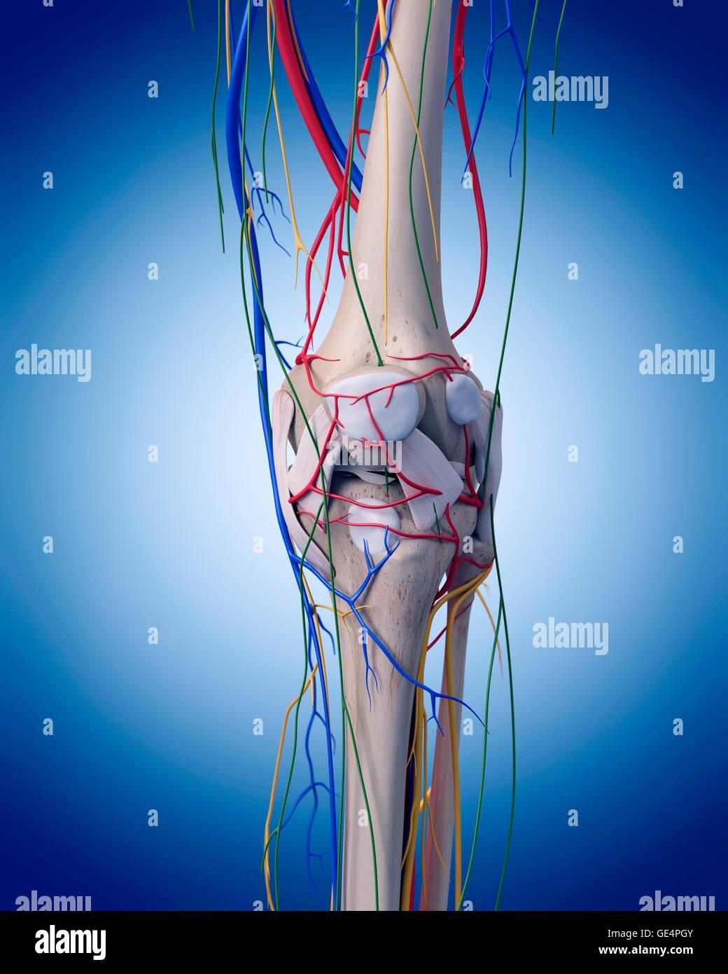 Menschlichen Knie Anatomie, Abbildung Stockfoto, Bild: 111972923 - Alamy