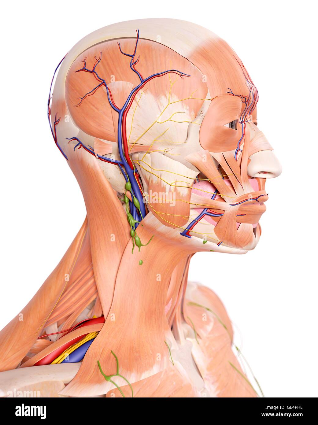 Anatomie Kopf, Abbildung Stockfoto, Bild: 111972938 - Alamy
