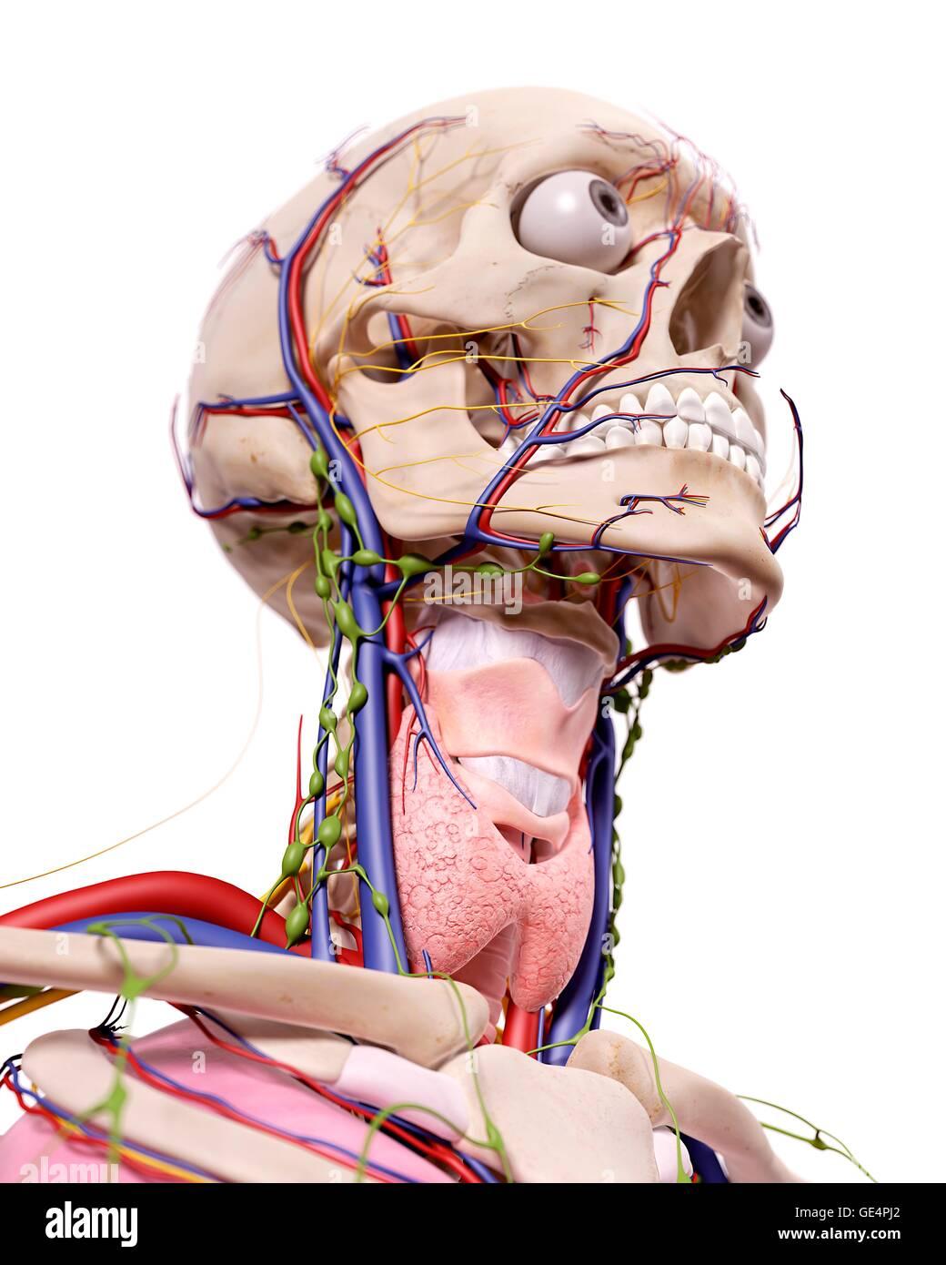 Groß Anatomie Des Aortenbogen Bilder - Menschliche Anatomie Bilder ...
