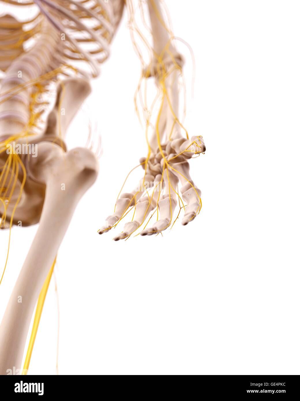 Ziemlich Anatomie Einer Menschlichen Hand Bilder - Anatomie Ideen ...
