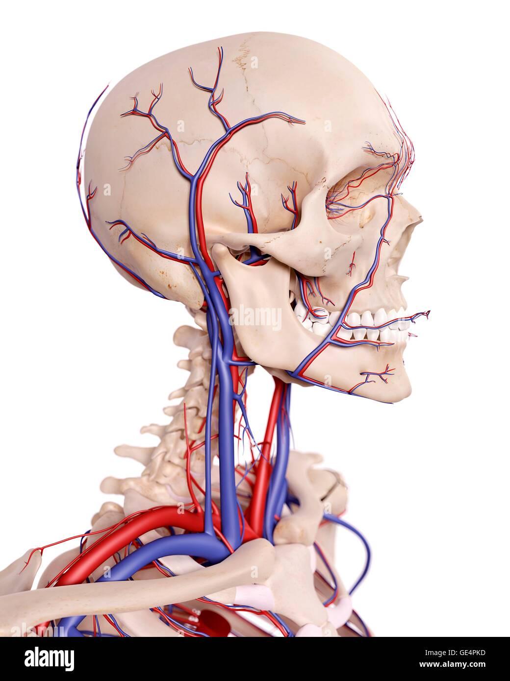 Ungewöhnlich Die Anatomie Des Kopfes Fotos - Anatomie Von ...