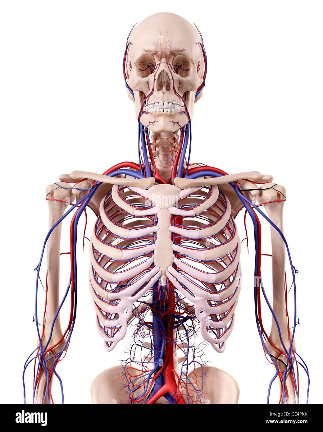 Anatomie des Menschen Thorax, Abbildung Stockfoto, Bild: 111972999 ...