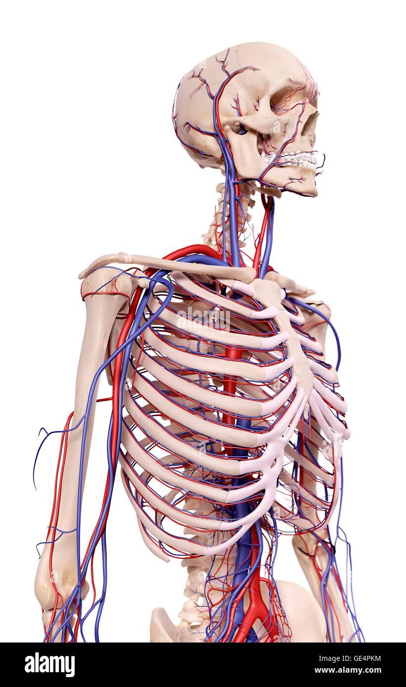 Anatomie des Menschen Thorax, Abbildung Stockfoto, Bild: 111973000 ...