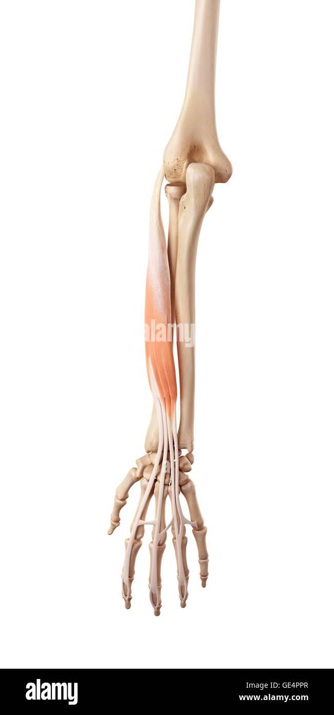 Wunderbar Anatomie Eines Menschlichen Arms Fotos - Anatomie Von ...