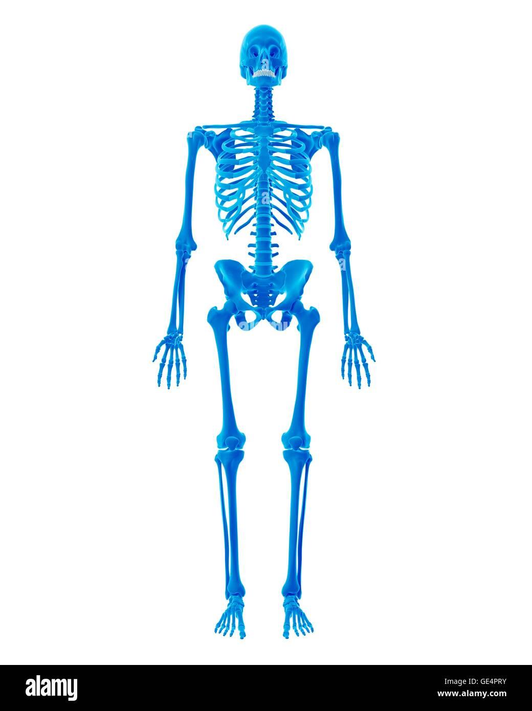 Nett Das Menschliche Skelett Knochen Gekennzeichnet Zeitgenössisch ...