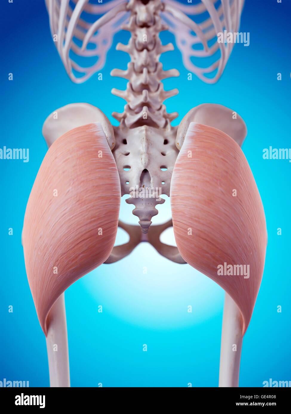 Menschlichen Gluteus Maximus Muskeln, Abbildung Stockfoto, Bild ...