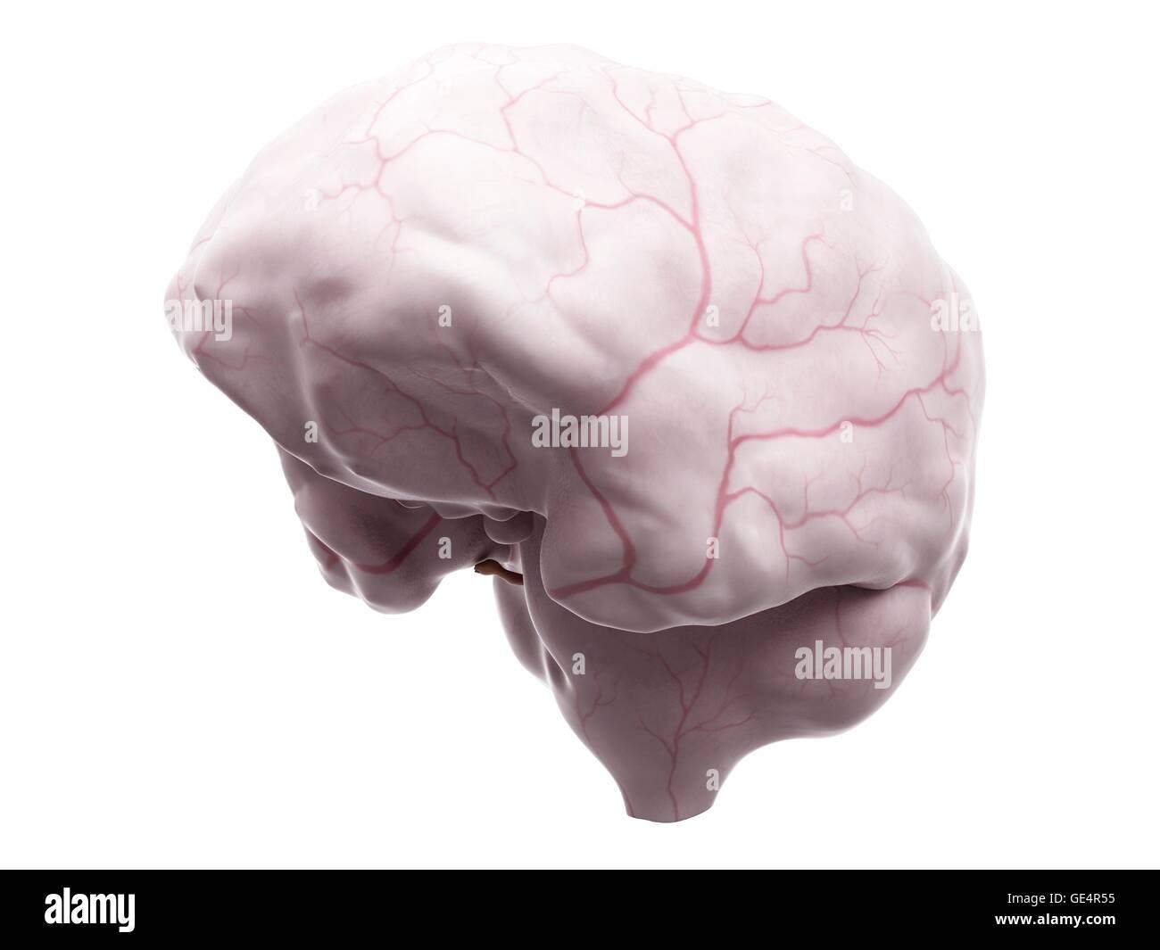 Ausgezeichnet Vergleichende Anatomie Des Gehirns Zeitgenössisch ...