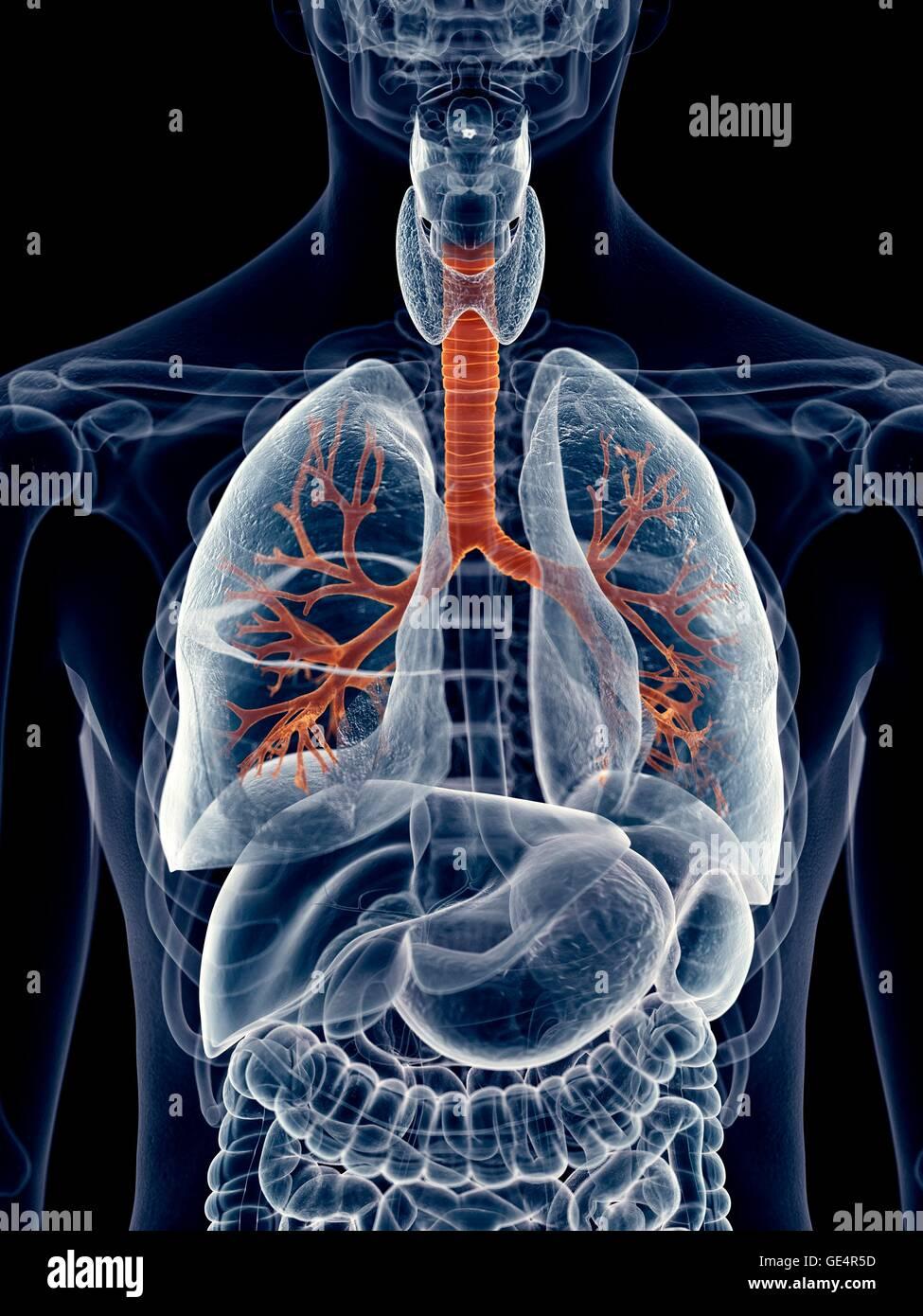 Ungewöhnlich Menschliche Lunge Fotos - Menschliche Anatomie Bilder ...