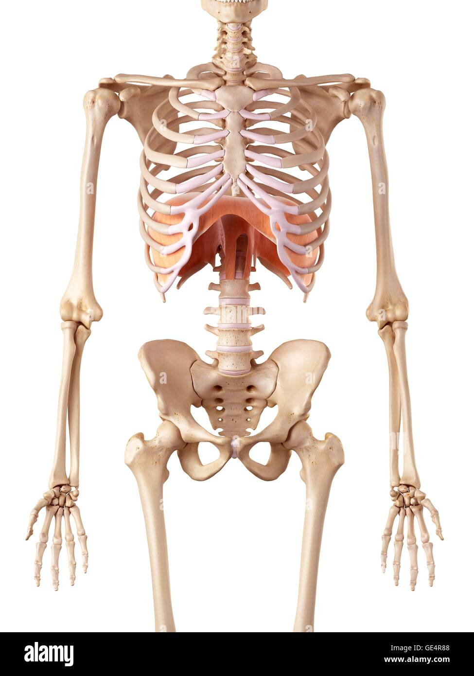 Tolle Menschliche Anatomie Brusthöhle Ideen - Anatomie Ideen ...