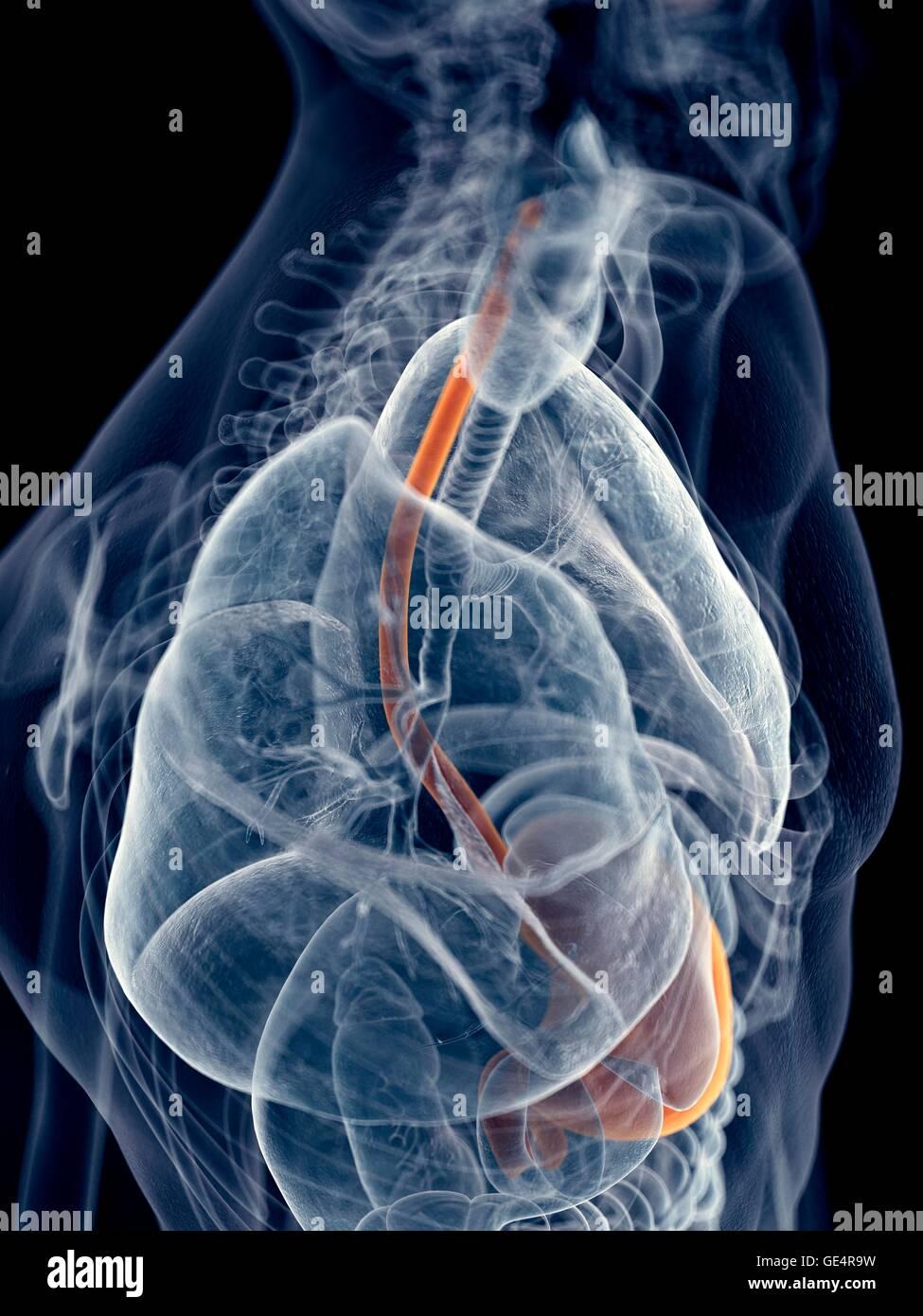Menschliche Speiseröhre und des Magens, Abbildung Stockfoto, Bild ...