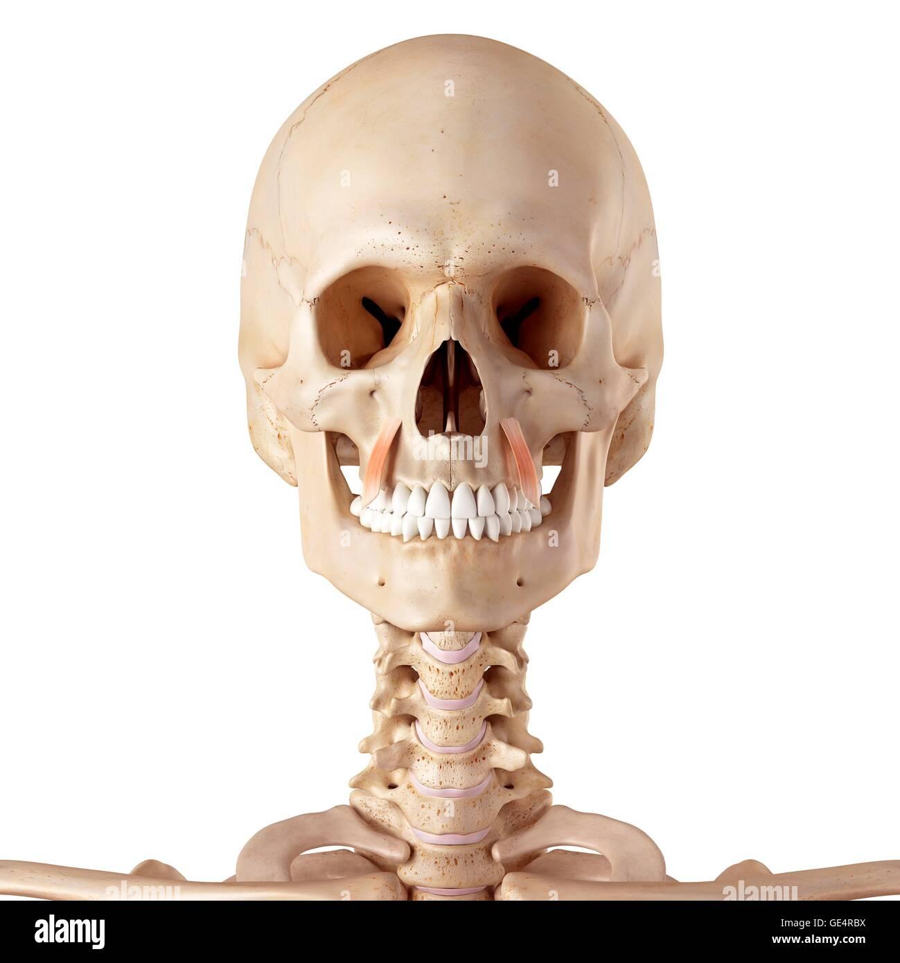 Menschlichen Gesichtsmuskeln, Abbildung Stockfoto, Bild: 111973566 ...