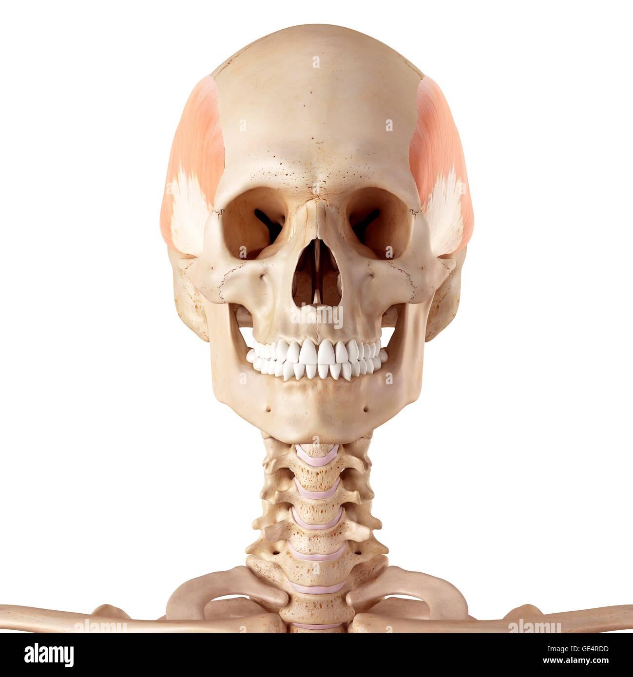 Ausgezeichnet Anatomie Der Gesichtsmuskeln Zeitgenössisch ...