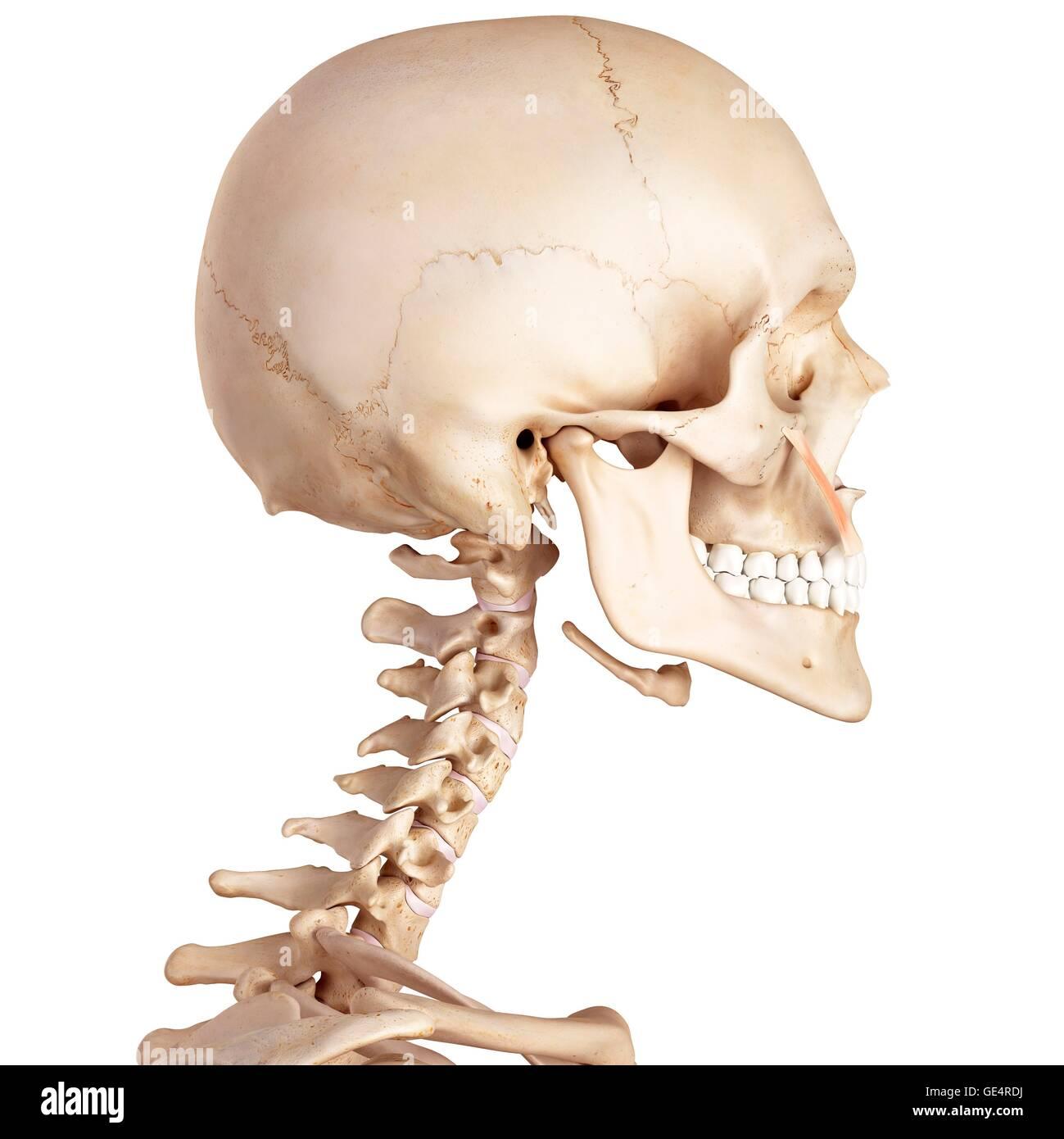 Großartig Anatomie Tierzelle Bilder - Anatomie Ideen - finotti.info